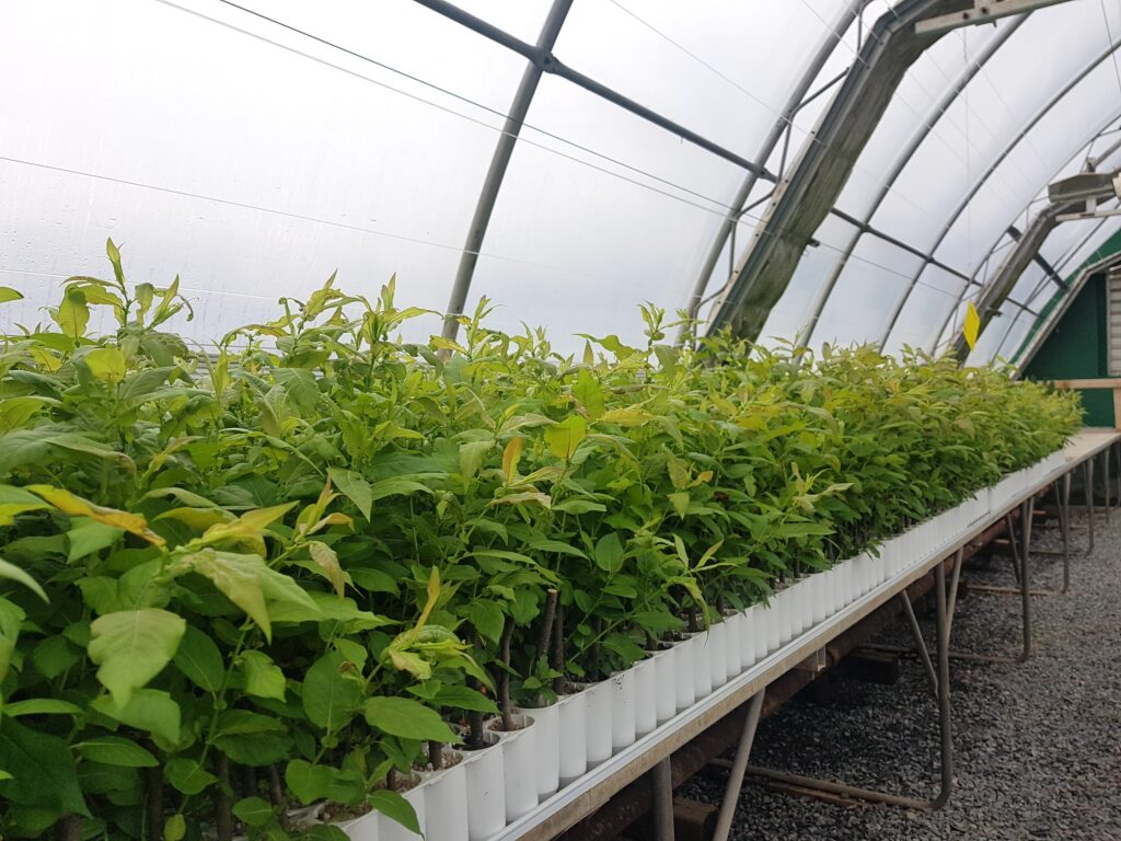 Red Tip Willows in Greenhouse